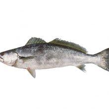 ماهی شوریده دریای جنوب