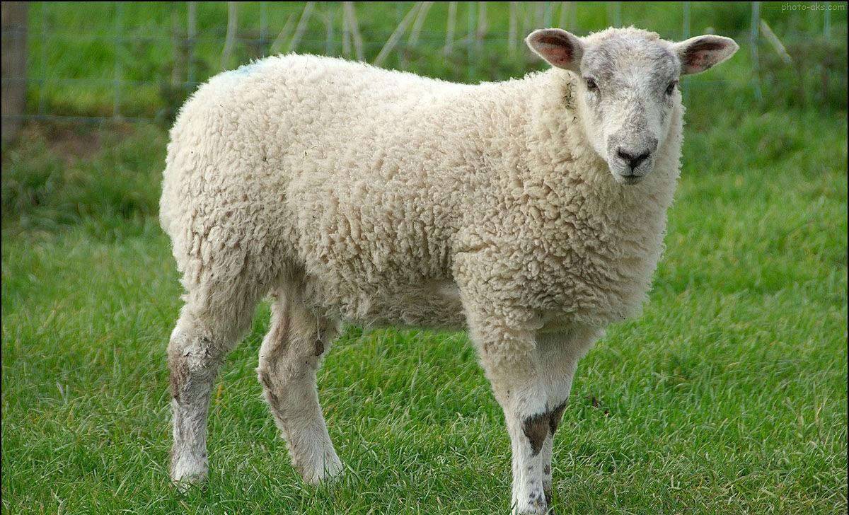 ۸ خاصیت باورنکردنی گوشت گوسفند برای سلامتی